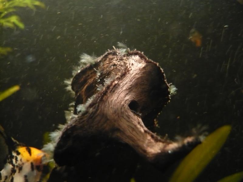 Début d'algues pinceaux dans mon bac...  P1000914