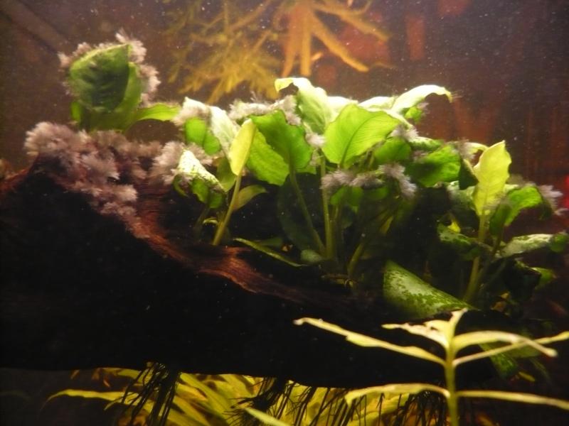 Début d'algues pinceaux dans mon bac...  P1000916