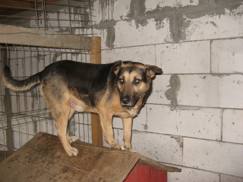 MADDOX - x berger allemand 9 ans (7 ans de refuge)  Asso Arche d'Eternité - Lenuta (Roumanie)- 05810