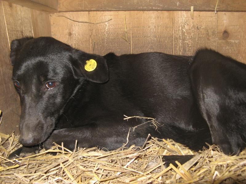 HOPE, née en 2008, croisé labrador parrainée par Nathalie Gamblin- R - VV-SC-SOS-FB - LBC - 07410