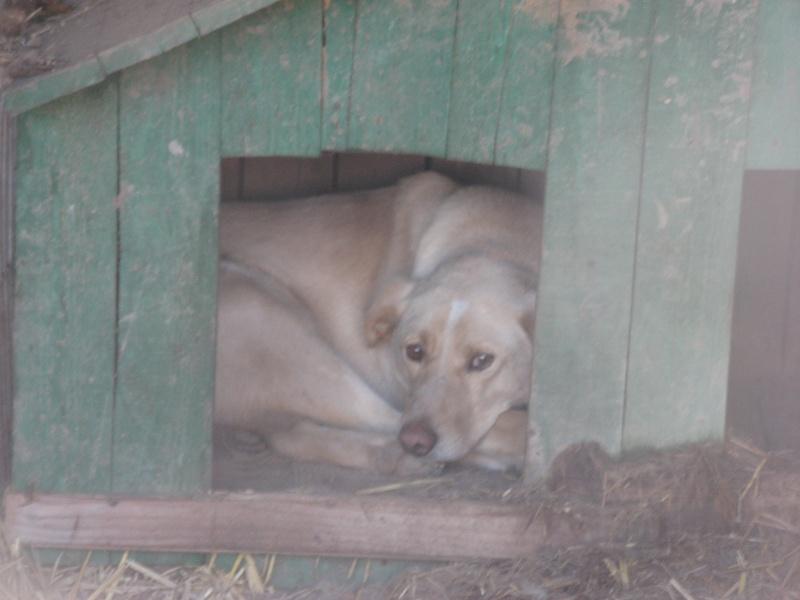 BOX (trois) , croisé labrador, né en 2007 -  Parrainée par Samie + Gage-coeur : (1) Samie -R-F-SOS-SC- Pict1257
