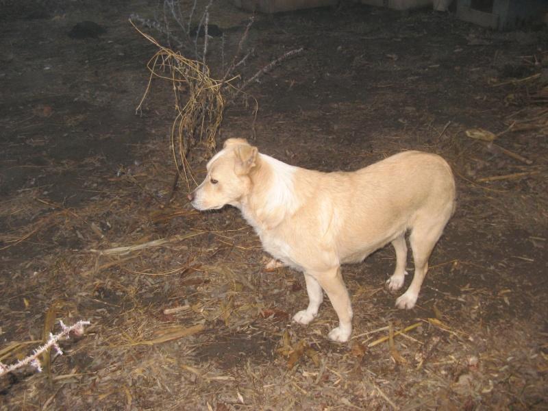 Marko, né en 2010, type labrador -PARRAINE PAR MARYLENE -R-FB-SOS-LBC-SC- Pictu385