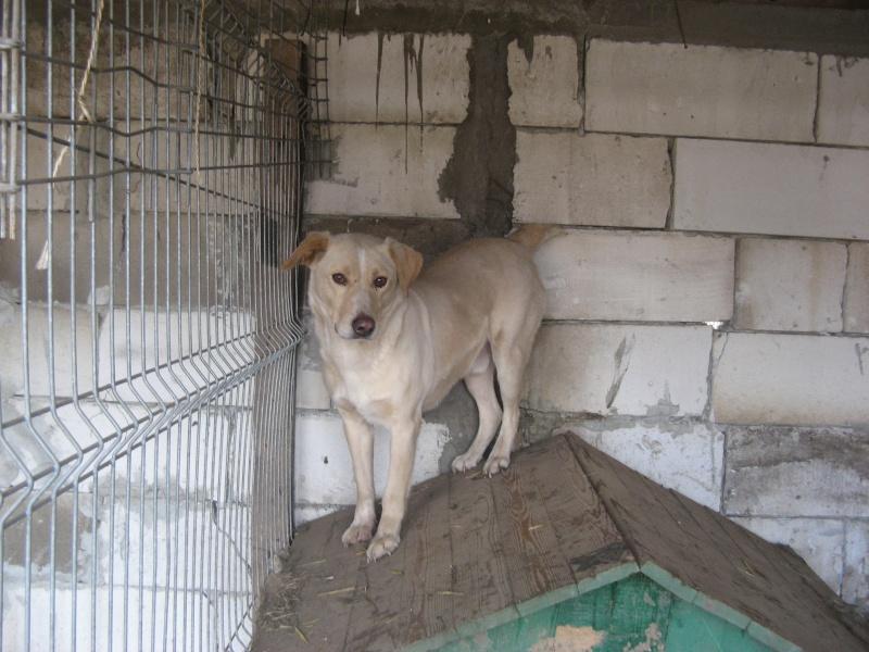 BOX (trois) , croisé labrador, né en 2007 -  Parrainée par Samie -R-F-SOS-SC- Pictu441
