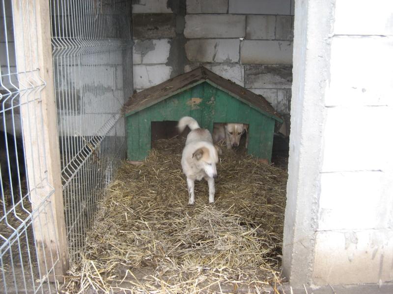 BOX (trois) , croisé labrador, né en 2007 -  Parrainée par Samie + Gage-coeur : (1) Samie -R-F-SOS-SC- Pictu554