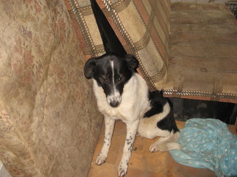GAYA- femelle noir et blanc née en 2013- parrainée par Skara - SC-SOS-R- Pictu586