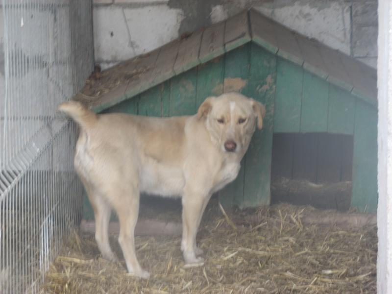 BOX (trois) , croisé labrador, né en 2007 -  Parrainée par Samie -R-F-SOS-SC- Pictu740