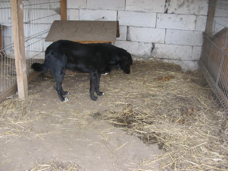 HOPE, née en 2008, croisé labrador parrainée par Nathalie Gamblin- R - VV-SC-SOS-FB - LBC - Pictu762