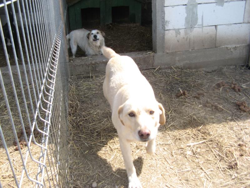 BOX (trois) , croisé labrador, né en 2007 -  Parrainée par Samie + Gage-coeur : (1) Samie -R-F-SOS-SC- Pictu795