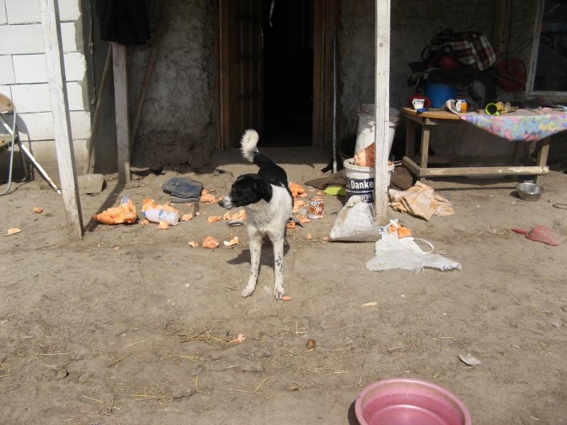 GAYA- femelle noir et blanc née en 2013- parrainée par Skara - SC-SOS-R- Pictu881