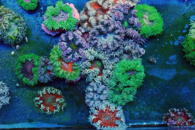 Marine Life arrivage coraux en WYSIWYG 19055410