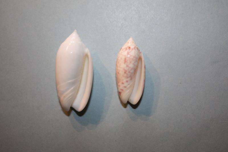 Americoliva reticularis reticularis (Lamarck, 1811) 1-amer10