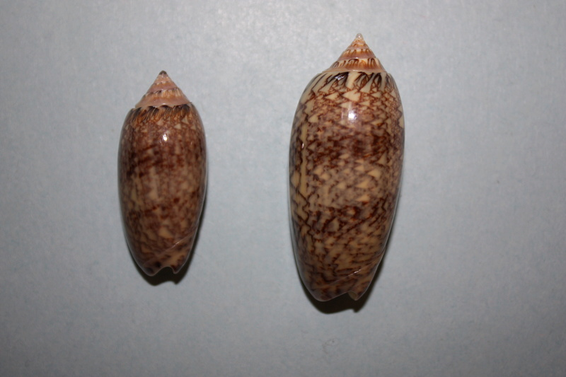 Americoliva bifasciata  Kuster, 1878 - Worms = Oliva bifasciata bifasciata Küster in Weinkauff, 1878· - Page 3 10-ame12