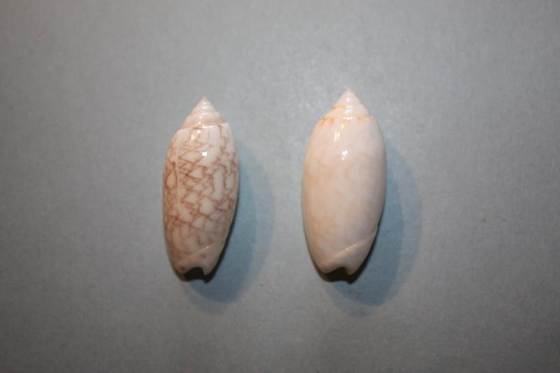Americoliva reticularis reticularis (Lamarck, 1811) - Page 2 11-ame10