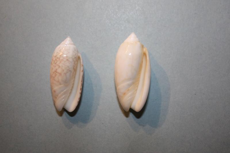 Americoliva reticularis reticularis (Lamarck, 1811) - Page 2 12-ame10