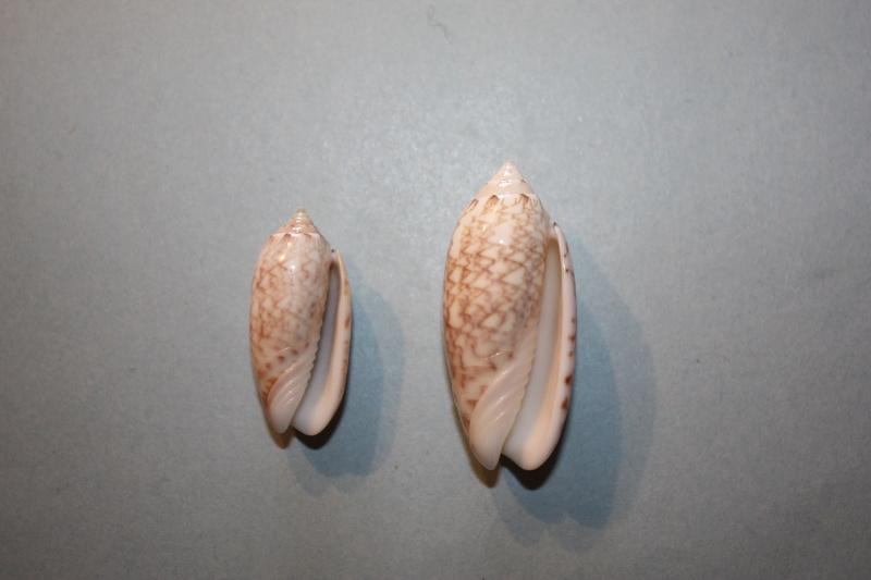 Americoliva reticularis reticularis (Lamarck, 1811) - Page 2 13-ame10