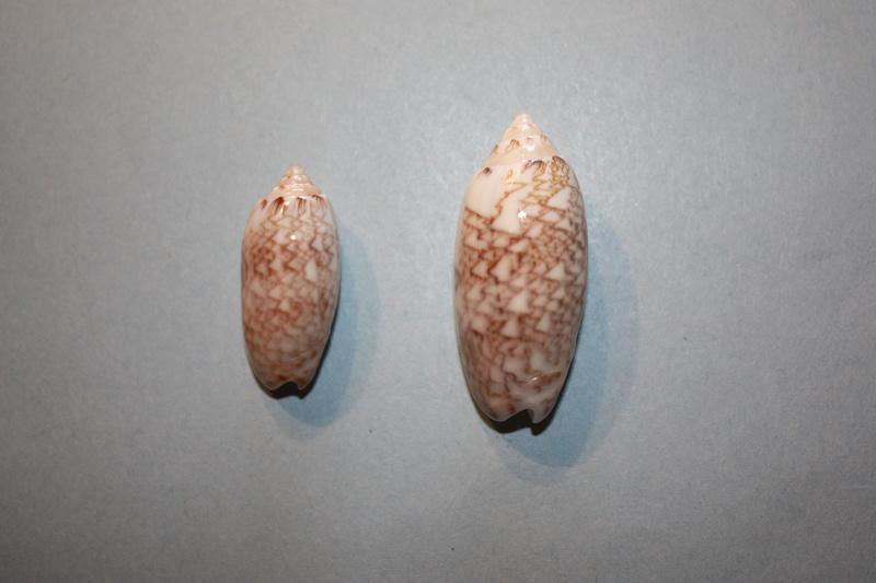 Americoliva reticularis reticularis (Lamarck, 1811) - Page 2 14-ame10