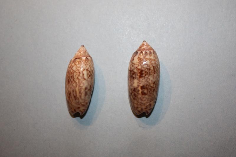 Americoliva reticularis ernesti (Petuch, 1990) 15-ame11