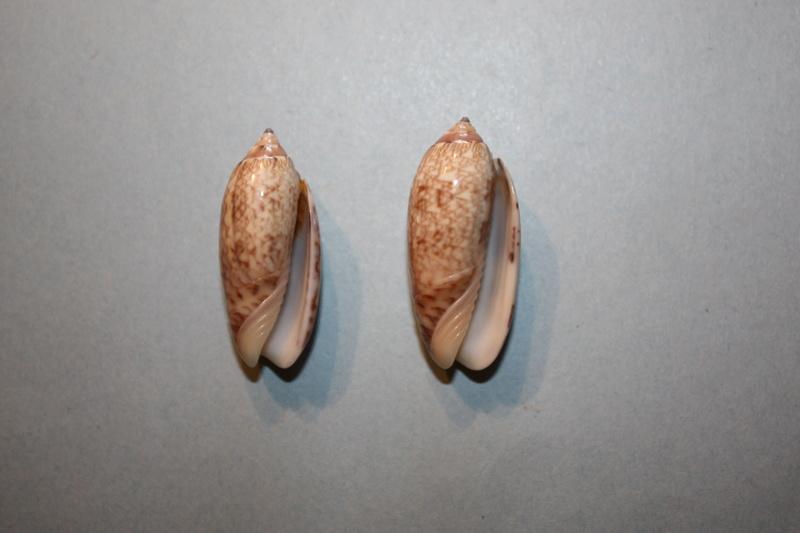 Americoliva reticularis ernesti (Petuch, 1990) 16-ame10