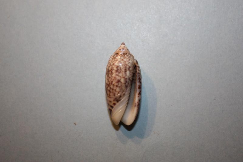 Americoliva reticularis reticularis (Lamarck, 1811) - Page 2 17-ame10