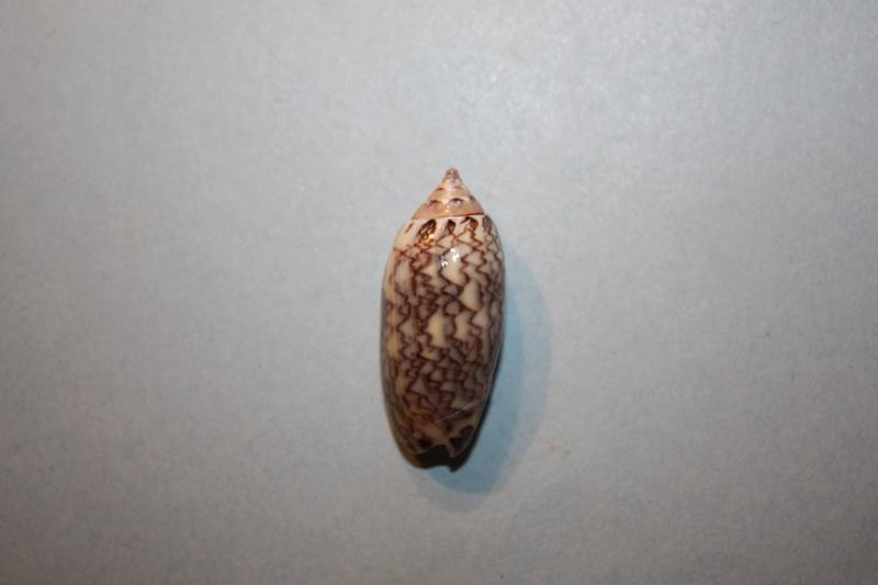 Americoliva reticularis reticularis (Lamarck, 1811) - Page 2 18-ame10