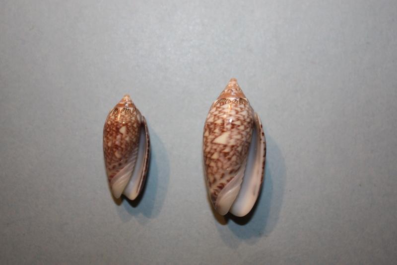 Americoliva reticularis reticularis (Lamarck, 1811) - Page 2 19-ame10