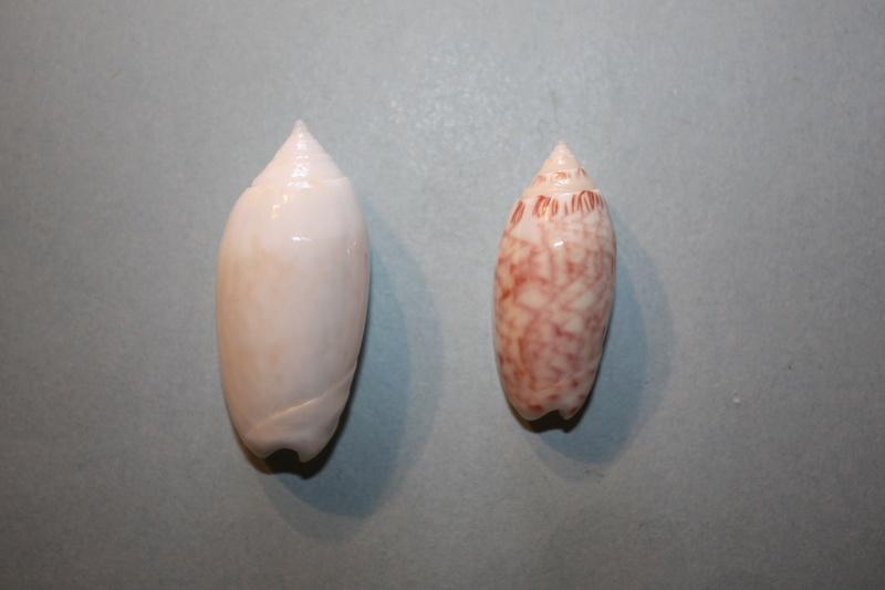 Americoliva reticularis reticularis (Lamarck, 1811) 2-amer10