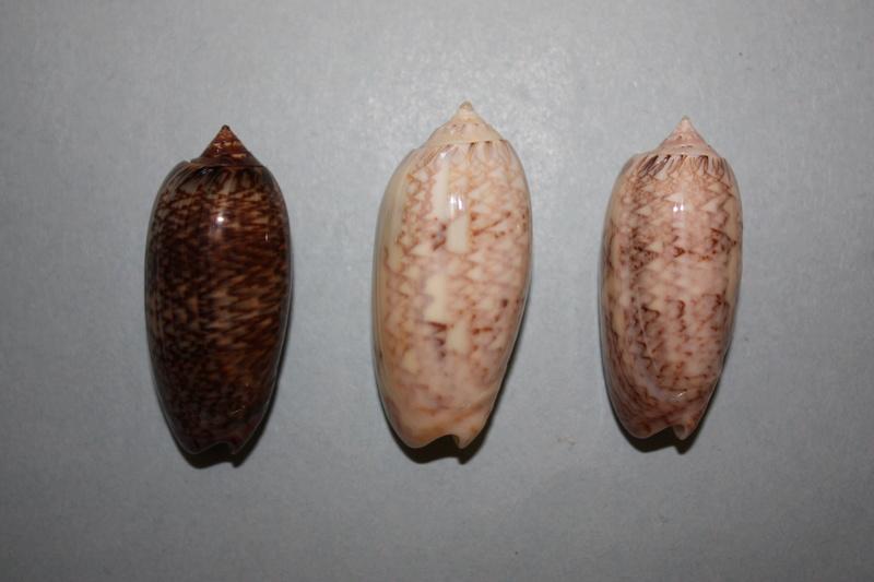 Americoliva bifasciata  Kuster, 1878 - Worms = Oliva bifasciata bifasciata Küster in Weinkauff, 1878· - Page 3 2-amer11
