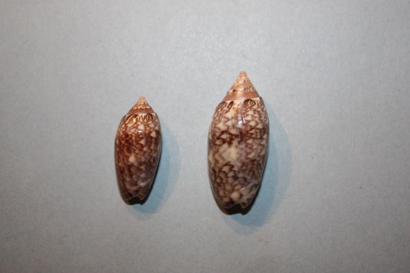 Americoliva reticularis reticularis (Lamarck, 1811) - Page 2 20-ame10