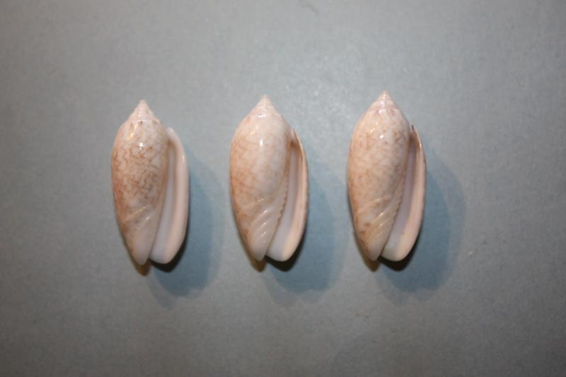 Americoliva reticularis reticularis (Lamarck, 1811) - Page 2 3-amer10