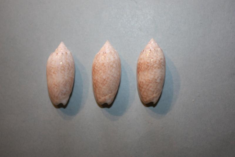 Americoliva reticularis reticularis (Lamarck, 1811) - Page 2 4-amer10