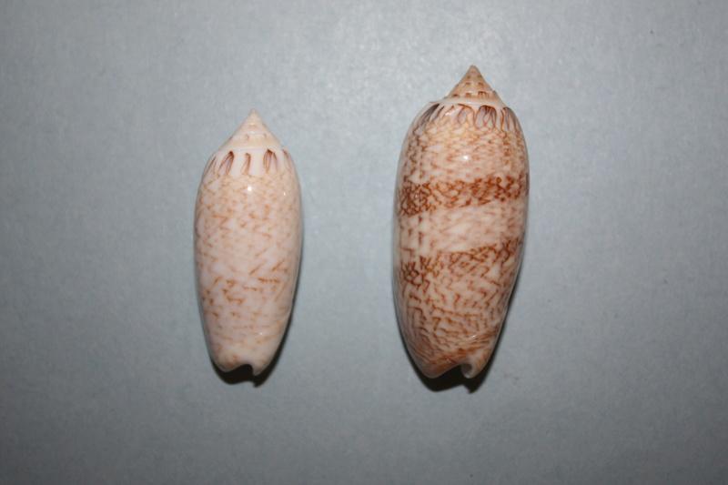 Americoliva bifasciata  Kuster, 1878 - Worms = Oliva bifasciata bifasciata Küster in Weinkauff, 1878· - Page 3 4-amer11