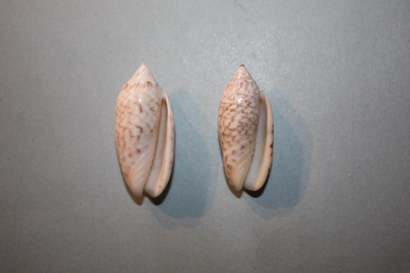 Americoliva reticularis reticularis (Lamarck, 1811) - Page 2 5-amer10