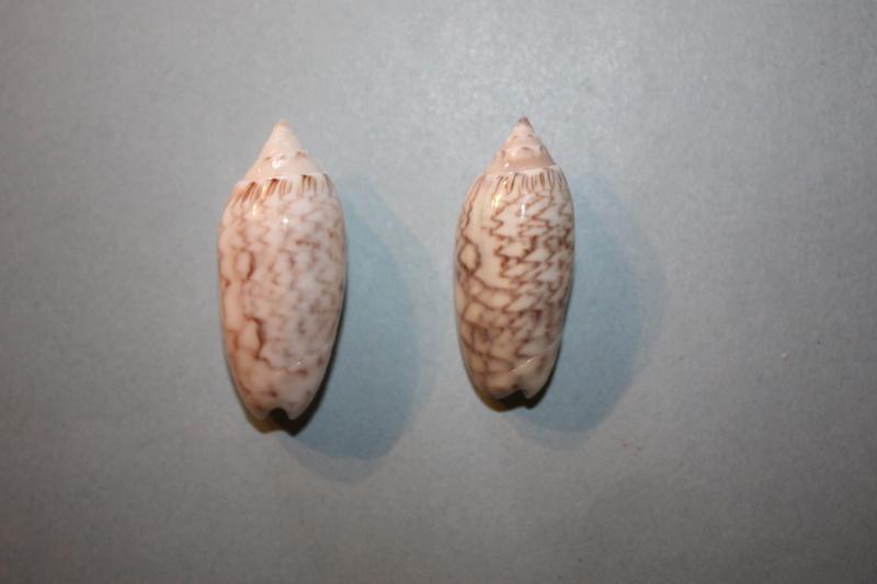 Americoliva reticularis reticularis (Lamarck, 1811) - Page 2 6-amer10