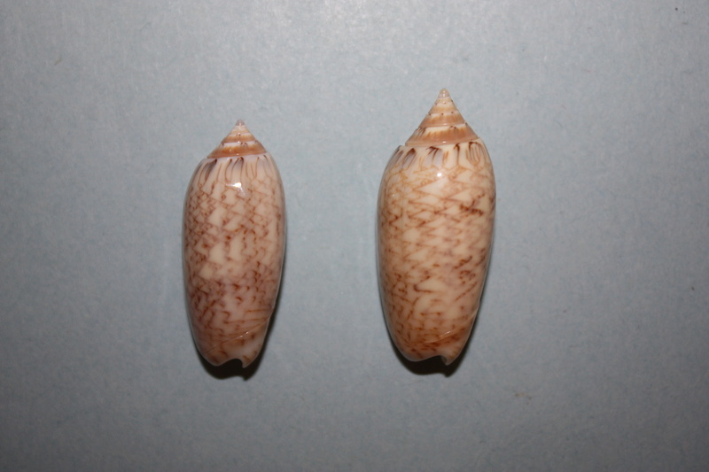 Americoliva bifasciata  Kuster, 1878 - Worms = Oliva bifasciata bifasciata Küster in Weinkauff, 1878· - Page 3 6-amer11