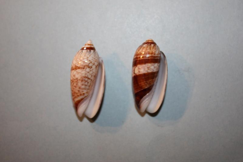 Americoliva reticularis reticularis (Lamarck, 1811) - Page 2 8-amer10