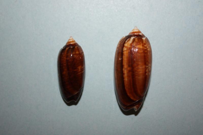 Americoliva bifasciata  Kuster, 1878 - Worms = Oliva bifasciata bifasciata Küster in Weinkauff, 1878· - Page 3 8-amer11