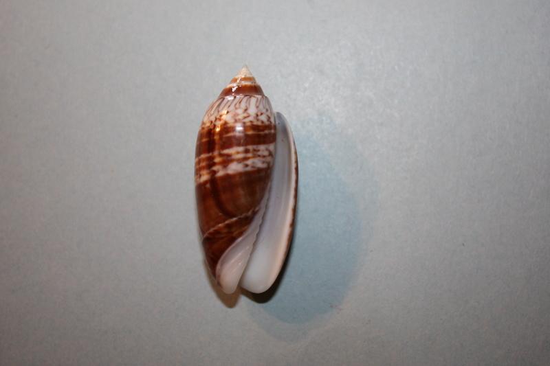 Americoliva reticularis reticularis (Lamarck, 1811) - Page 2 9-amer11