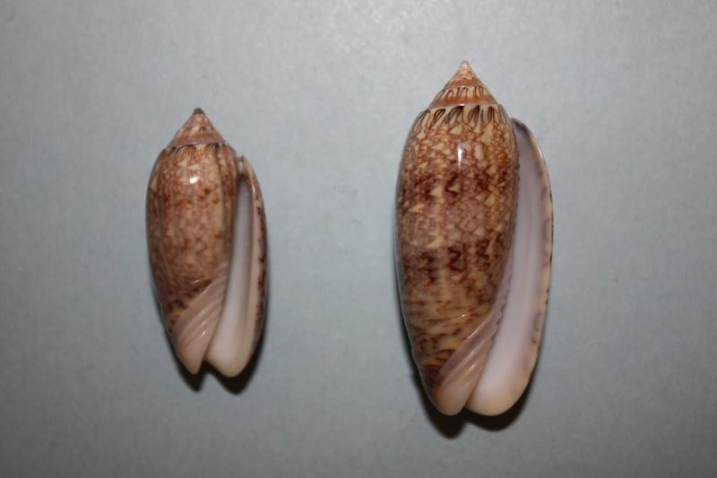 Americoliva bifasciata  Kuster, 1878 - Worms = Oliva bifasciata bifasciata Küster in Weinkauff, 1878· - Page 3 9-amer12