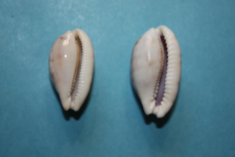 Talostolida teres natalensis - (Heiman & Mienis, 2002) Img_3410