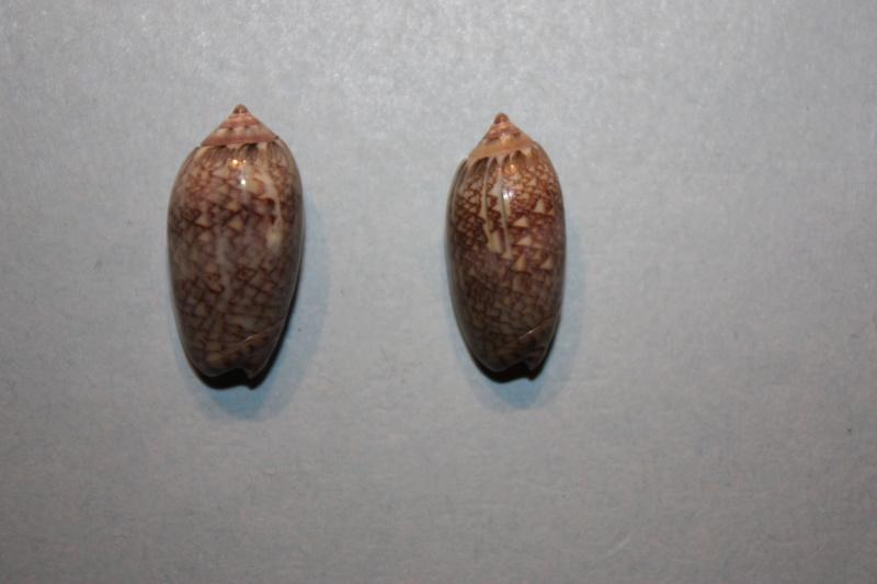 Americoliva jamaicensis jamaicensis (Marrat, 1867) - Worms = Oliva jamaicensis Marrat, 1867 Img_7010