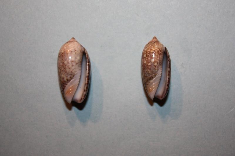Americoliva jamaicensis jamaicensis (Marrat, 1867) - Worms = Oliva jamaicensis Marrat, 1867 Img_7011