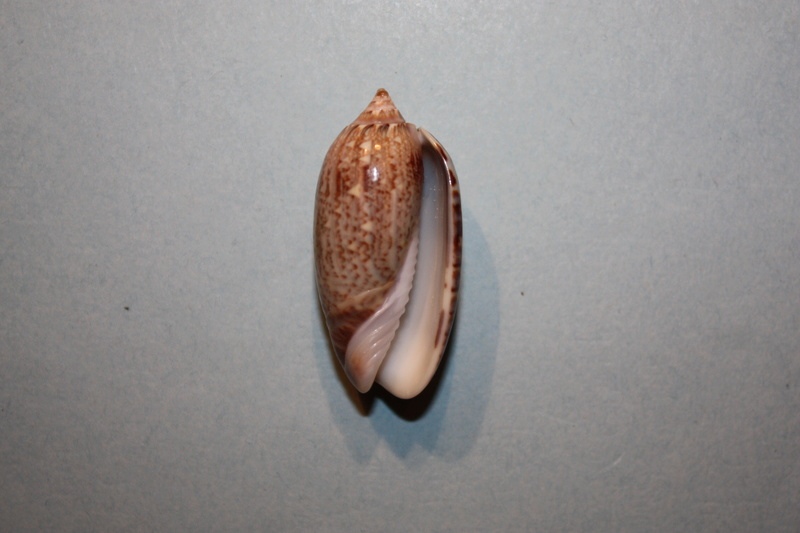 Americoliva reclusa (Marrat, 1871) - Worms = Oliva reclusa Marrat, 1871 Img_7015