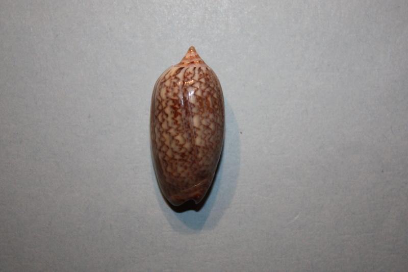 Americoliva reclusa (Marrat, 1871) - Worms = Oliva reclusa Marrat, 1871 Img_7016