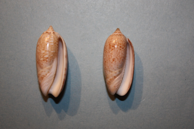 Americoliva reclusa (Marrat, 1871) - Worms = Oliva reclusa Marrat, 1871 Img_7017