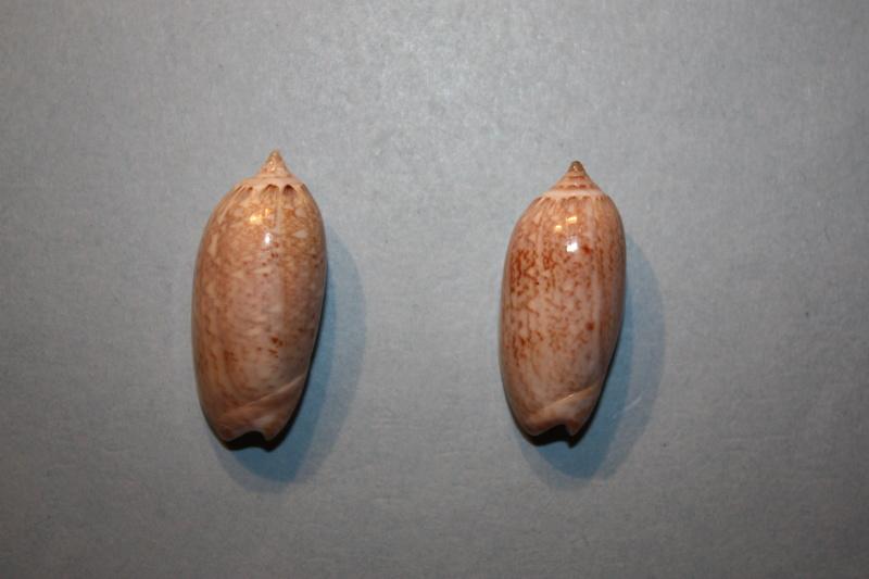 Americoliva reclusa (Marrat, 1871) - Worms = Oliva reclusa Marrat, 1871 Img_7018