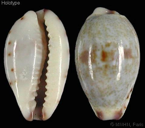 Purpuradusta gracilis nemethi - Van Heesvelde , 2010 Purpur10