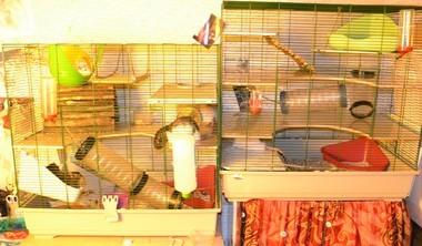 dispute entre rats Dsc_0112