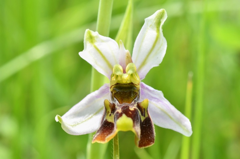 Festival de lusi sur Ophrys fuciflora 02710