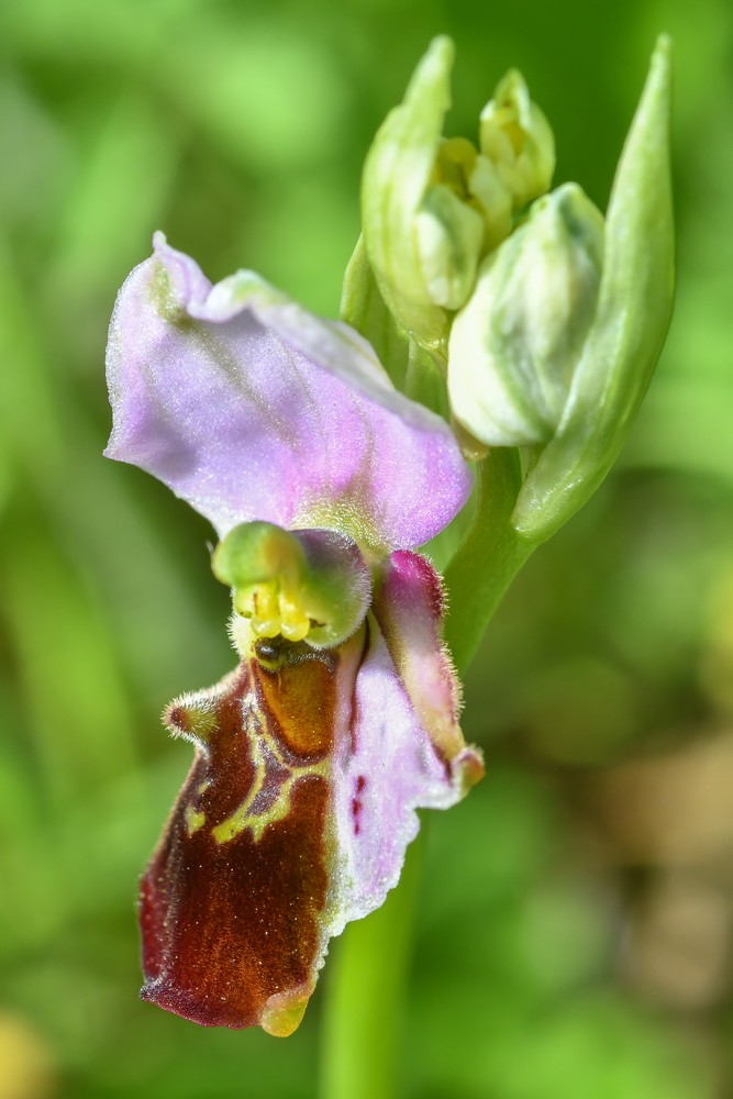 Festival de lusi sur Ophrys fuciflora 10910