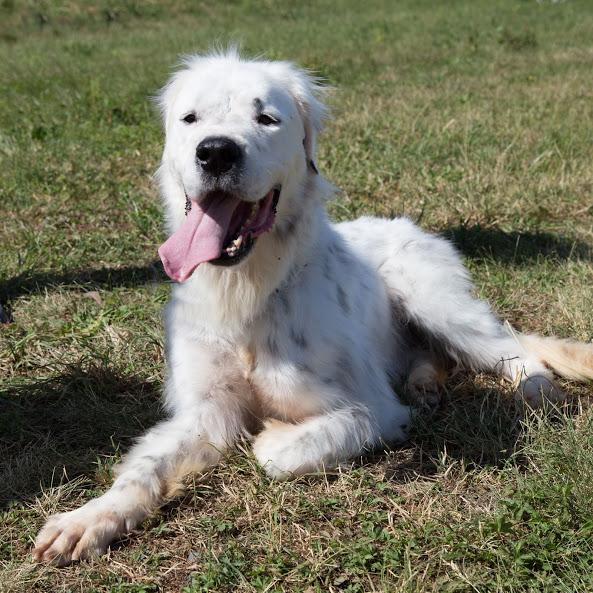 MONZON chien croisé dogue /retriever 6 ans -  Asso Orfee en pension dept 79 Img_8714
